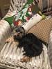 Flo Yorkie Poo Dog and Alice in Wonderland (@oakhamuk) Tags: flo yorkiepoo dog aliceinwonderland