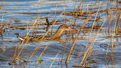 Ridgway's Rail (Bob Gunderson) Tags: alamedacounty arrowheadmarsh birds california eastbay northerncalifornia rails ralluslongirostris ridgwaysrail