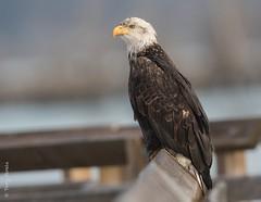 Bald eagle (Haliaeetus leucocephalus) (Tony Varela Photography) Tags: haliaeetusleucocephalus photographertonyvarela baldeagle eagle