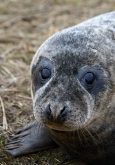 Seal Pup - Donna Nook (D.R.Williams) Tags: donnanook seal lincolnshire