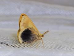Plutodes moultoni, Geometridae Ennominae Plutodini (Green Baron Pro) Tags: malaysia moth frasershill brinchang geometridae ennominae plutodini 200803 yellow