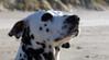 Shisana Orton Effekt (D.ST.) Tags: shisana orton effekt aufgenommen mit der pentax ist dl2 danmark dänemark strand beach dog hund dalmatiner meer sea nordsee nothsea photosho photoshop cs6