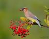 Cedar Waxwing (Steve Zamek) Tags: cedar waxwing toyon berries