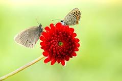 Fleur magique II... (Zbyszek Walkiewicz) Tags: sony butterflies butterfly