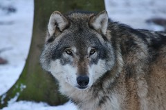 see deep into my eyes (Hugo von Schreck) Tags: hugovonschreck wolf animal tier outdoor hirschhausen hessen deutschland germany winter europe greatphotographers fantasticnature yourbestoftoday ngc canoneos5dsr