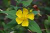 DSC_6363 Hypericum hookerianum, Adelaide Botanic Garden, Adelaide, South Australia (johnjennings995) Tags: hypericumhookerianum hypericum hookerianum hypericaceae australia southaustralia adelaide adelaidebotanicgarden adelaidebotanicgardens yellow flower