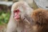 Let's do a makeover (iorus and bela) Tags: snowmonkeys japan monkey monkeys japanesemonkey yudanaka iorus bela september summer zomervakantie snowmonkeysinthesummer asia travel macaque japanesemacaque wild wildlife