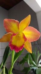 IMG_20161217_155158330 (Rodrigo Ribeiro) Tags: orchid orquidea orquideas nature natureza flower flor flores garden gardening jardim jardinagem
