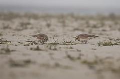 Strandleeuwerik, Streaked horned lark (Paul van Agthoven) Tags: texel strand strandleeuwerik natuur zooom canonllens canon70d birding birds holland coth