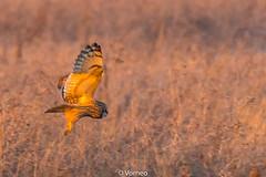 ShortEaredOwl-0022.jpg (vorneo) Tags: shortearedowl bird wild birdofprey seo classaves orderstrigiformes familystrigidae genusasio phylumchordata speciesaflammeus wildbird kingdomanimalia binomialnameasioflammeus