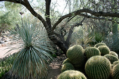 garden scene with golden barrels, yucca and a mesquite (wmpe2000) Tags: 2016 daytrip desertbotanicalgardens botanicalgardens dbg view tree mesquite yucca cactus barrelcactus goldenbarrelcactus echinocactusgrusonii ferocactus cactaceae cactusfamily ordercaryophyllales spines unid