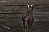 Lesser Horseshoe Bat, Rhinolophus hipposideros (Midlands Reptiles & British Wildlife Diaries) Tags: rhinolophus hipposideros lesser horseshoe bat gloucester gloucestershire david nixon fauna forest ecology bats british hibernating hibernation roost epsl european protected species canon