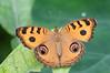 Junonia Almana (fabriciodo) Tags: junoniaalmana butterfly papillon mariposa macro lepidoptera