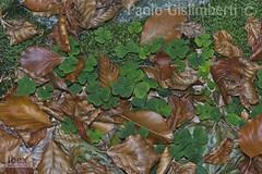 sottobosco in faggeta, undergrowth in a beech-wood (paolo.gislimberti) Tags: macro sottobosco undergrowth foglie leaves