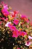 Very Bright Pink Petunias (Matthew Huntbach) Tags: petunias pink bright