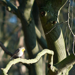 Vogel3 (yvetteverwer) Tags: hilversum bussum laren gooi hei heide bos natuur forest field nature winter cold sun zon tree bird vogel boom tak takken