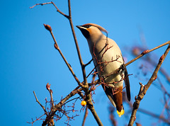 Bohemian Waxwing (LostnSpace2011- Back Soon) Tags: cheshunt bohemian waxwing crest winter scandinavia irruption bombycillagarrulus crabapples cotoneaster berries fruit