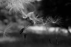 Dancers (inge_rd) Tags: blowball dandelion pusteblume löwenzahn tanzen leicht makro