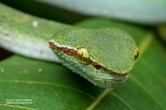 Wagler's pit viper (Tropidolaemus wagleri) - ESC_0419 (nickybay) Tags: singapore macro oldupperthomsonroad waglers pit viper viperidae snake serpentes tropidolaemus wagleri