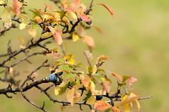 From the archives: berries & bokeh (elkarrde) Tags: nature berries bush autumn autumncolors sunny orange october 2010 autumn2010 october2010 bokeh shallowdof shallowdepthoffield bokehlicious leaves pentax pentaxk20d k20d 50135 da50135 smcpentaxda★50135mmf28edifsdm