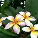 Frangipani-Blüten, Singapur