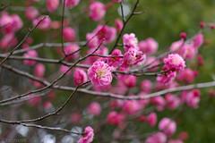 Ume blossoms (tearoom) Tags: pink flowers tree green japan spring pentax blossom plum apricot osaka ume istds spring06