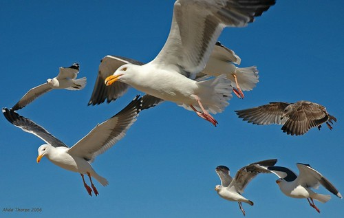 Gulls on the Rampage by Alida's Photos