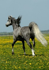 trotting away (bea2108) Tags: horses horse beautiful animal animals explore arab arabian arabianhorse trotting arabianhorses interestingness320 i500