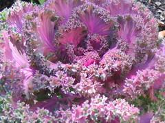 (Dan²) Tags: flowers petal stamen bloom kale sepal carpels tepal