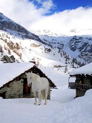 O cavallo bianco, il principe azzurro dove l'hai lasciato? (kenyai) Tags: italy horse mountain snow mountains alps 510fav montagne italia lovely1 neve alpi cavallo whitehorse valledaosta valdaosta valtournenche valtournanche monagna i500 interestingness211 cheneil cavallobianco principeazzurro