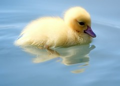 i want one (slight clutter) Tags: baby cute bird water animal yellow swim duck bravo duckling adorable ducky iloveflickr rhiannon iwantone slightclutter topf600 sunkissedbirds animalkingdomelite mywinner bigfave katyahorner slightclutterphotography