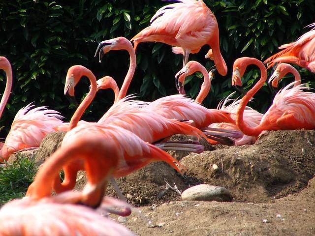 Flamingo aplenty