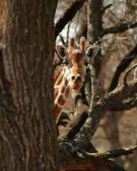 Shy Giraffe Behind Tree
