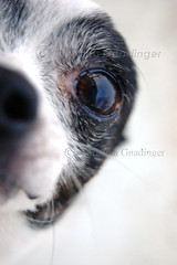 Josie!! (joschmoblo) Tags: copyright dog pet pets chihuahua cute closeup 1025fav 510fav d50 puppy nose nikon josie 1855 snout allrightsreserved 2007 joschmoblo christinagnadinger