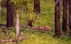 Bull Elk In Banff (orclimber) Tags: lake canada louise banff