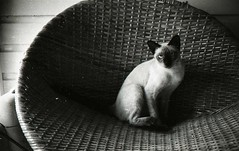 Siamese on the wicker chair, 1957 (Patrick Q) Tags: old blackandwhite bw white black texture cat vintage mississippi poster blackwhite interestingness shadows siamese scout explore 1950s 1957 50s update wicker backporch oldfamilyphotos midcentury interestingness63 i500 pampaschair explore63 mar52006 1960houselovers 1950houselovers thecatwhoturnedonandoff