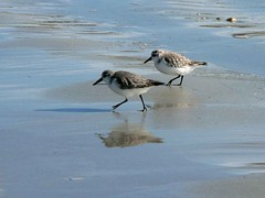 The animals went in two by two... (Magali Deval) Tags: sea 15fav mer reflection beach birds bravo afternoon plage oiseaux wsr