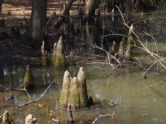 Cypress Stumps (The Rocketeer) Tags: pond texas cypress stumps humble