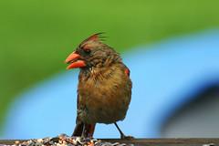 An after the storm snack (SouthernBelladonna) Tags: bird nature topv111 mississippi topv333 birdseed colorful cardinal southernbelladonna femalecardinal specnature kimmurrell