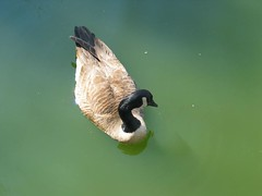 """IMG_0259 (Claire DeLand ~ """"GA Music Maker"""") Tags: geese ducks swans centurycenter babyduck"""