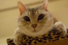 Funny face looking down (h329) Tags: cat 貓