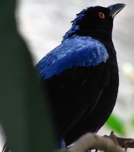 Fairy Bluebird - Irena Puella