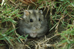 New house (EricFlickr) Tags: pet animal taiwan hamster