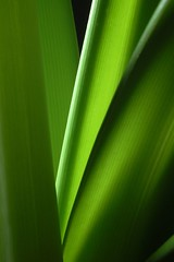 shoots. But not leaves. (Mark Twells) Tags: light plants plant macro green topv111 stem sb600 indoor amaryllis personalfavourite translucent 83points 55mmmacronikkor