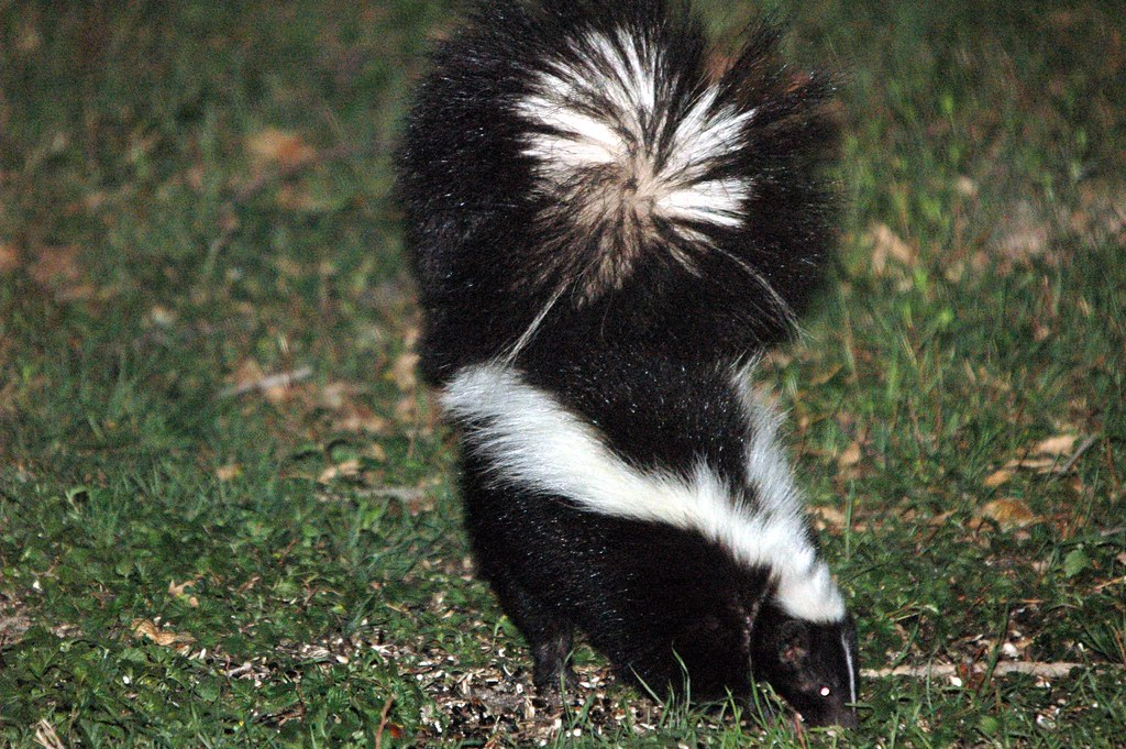 Flash Photo Of Skunk With Puffed Up Tail Animal Photos
