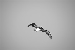 Reconociendo (organiq) Tags: sea blackandwhite bw blancoynegro beach birds mexico sand playa aves arena guerrero organik lagomichigan