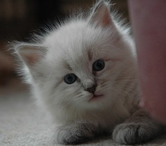 Hello! (Buntekuh) Tags: cats pets animals katzen gatos kitten nevamasquerade siberiancat blueeyes kitties joschi topf25