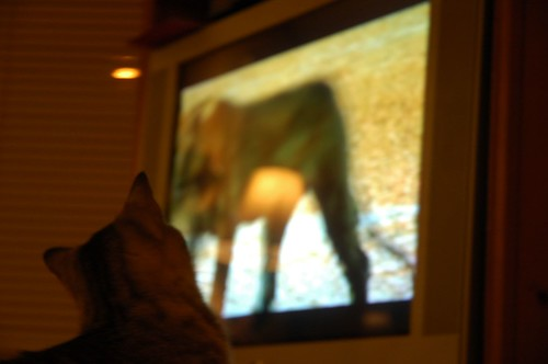 Neville Watches His Ancestors on Animal Planet