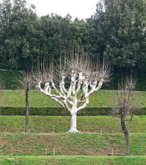 the White tree.. somewhere in Boboli Garden (PrinceVlad) Tags: italy white tree art garden italia arte albero somewhere bianco boboli princevlad
