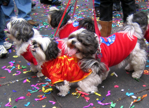 shih tzus chinese new year